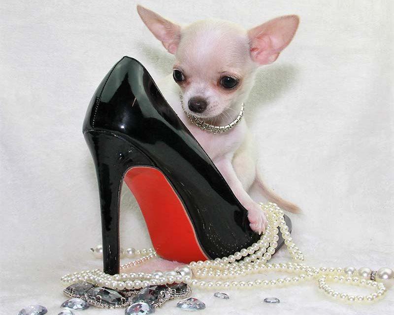 Chihuahua lof : prix, élevage